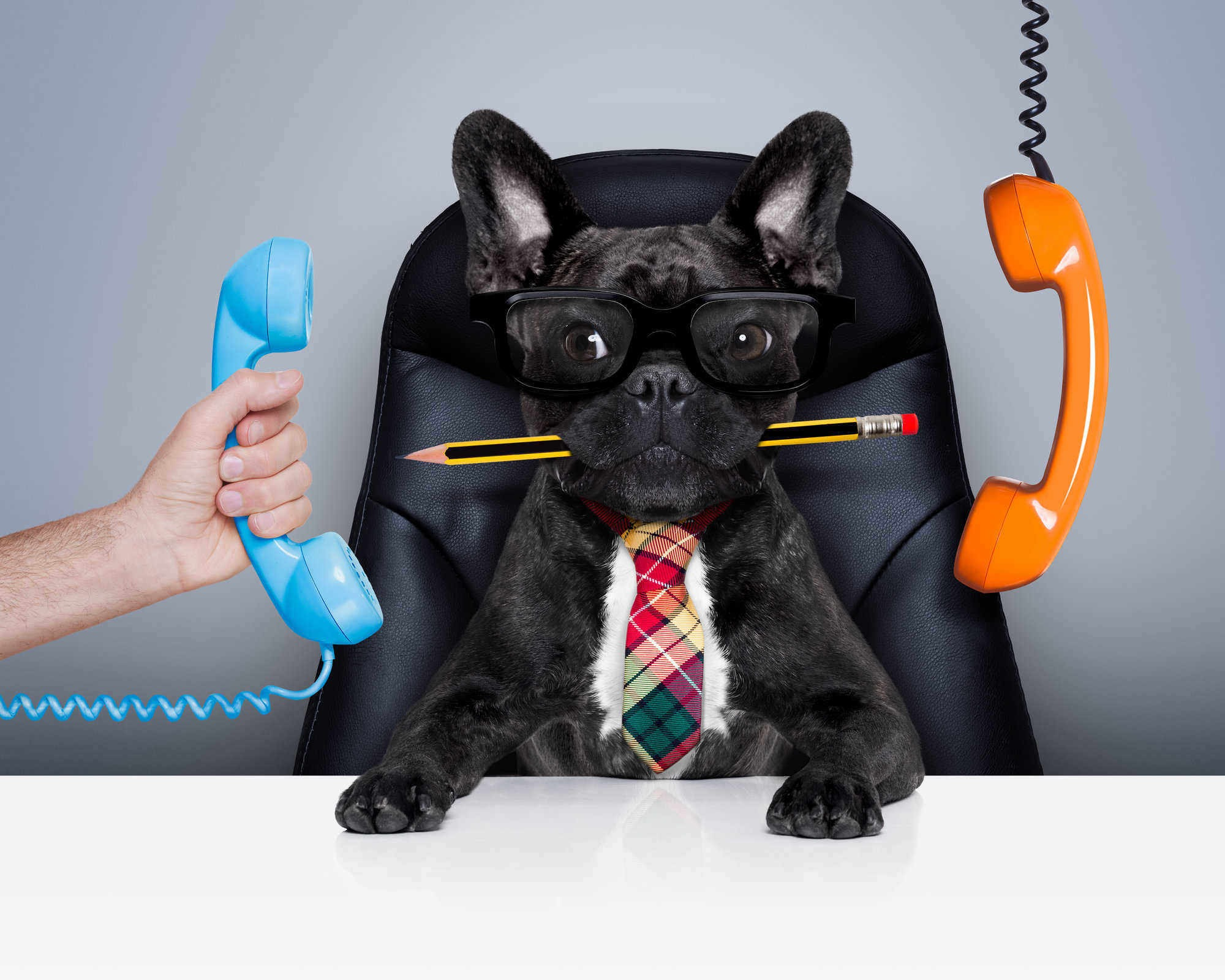 office businessman french bulldog dog  as  boss and chef , busy and burnout , sitting on leather chair and desk, telephones hanging around
